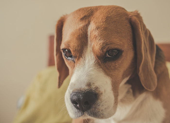 Colorpallet Colorpallete Pet AnimalTheme Pose Looking Domesticanimals Canine Indoors  Friendforever Friendship PortraitPhotography Lookingatcamera Resting Tranquility 35mm Apsc35mm Dogphotography Rest Concentration Composition Light And Shadow Beagle Pets Portrait Dog Looking At Camera Puppy Alertness Close-up