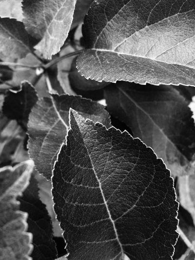Leaf Leaf Vein