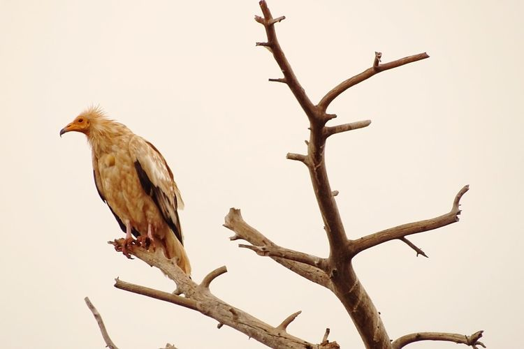Neophron percnopterus. Alimoche Neophron Percnopterus Egyptian Vulture Alimoche Común EyeEm Selects Bird Perching Bird Of Prey Tree Branch Bare Tree Full Length Clear Sky Sky Landscape Vulture Wilderness Wildlife Reserve
