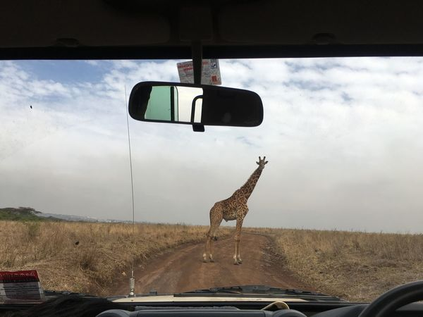 Giraffes move around at Nairobi National Park . The Great Outdoors - 2018 EyeEm Awards Animal Animal Themes Car Car Interior Cloud - Sky Day Domestic Animals Glass - Material Land Vehicle Mammal Mode Of Transportation Motor Vehicle Nature No People One Animal Outdoors Rear-view Mirror Road Sky Transportation Vehicle Interior Windshield The Traveler - 2018 EyeEm Awards The Street Photographer - 2018 EyeEm Awards Summer Road Tripping