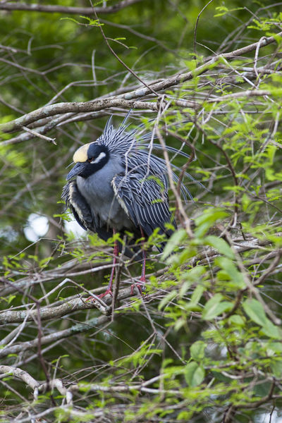 Yellow Crowned Night Heron Animal Themes Animal Wildlife Animals In The Wild Bird Everglades National Park Nyctanassa Violacea Tree