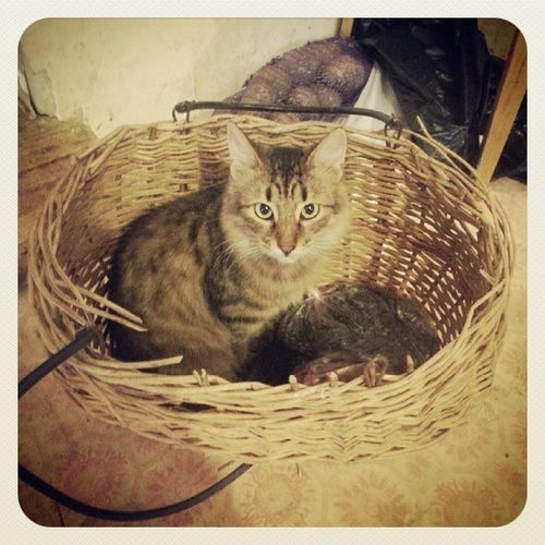Фрося в корзинке, Фросе удобно, Фросе норм ;) Cat Atbasket Good Amazing socute кошка вкорзинке pleasefollow pleaselike instapicture instafoto ок instagood instacool instagram instamessage instalike instafollow followme followers instamood instabaku yolo tweegram aztagram