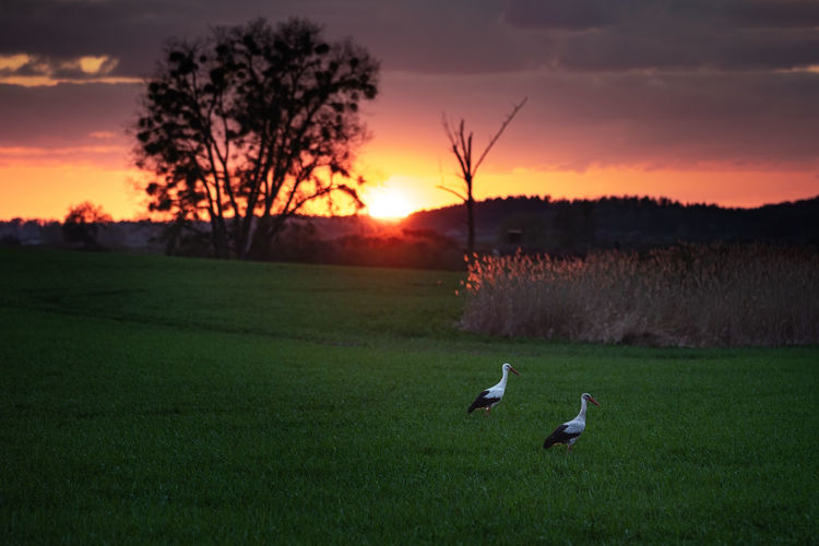 View of birds on field against sunset sky