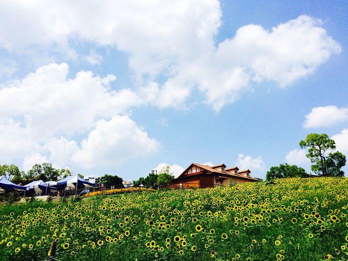 ハーベストの丘 ひまわり Flower