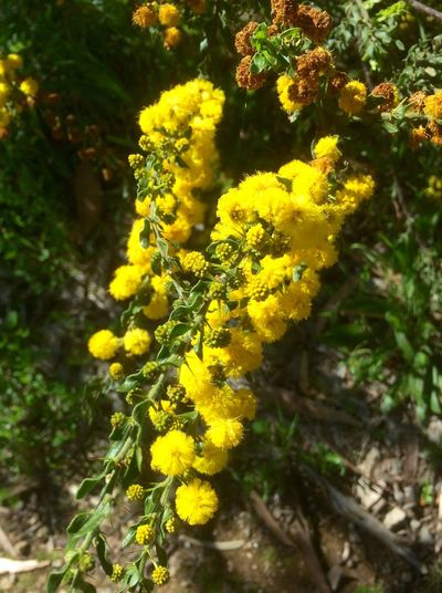 Wattle Flowering Bushes Spring Has Arrived