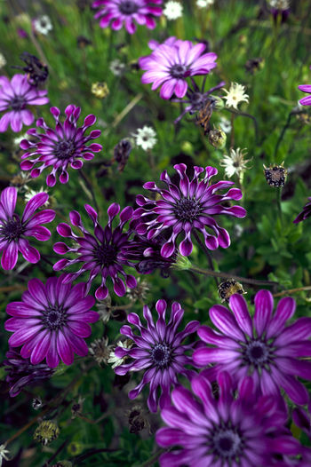Daisy Deep Purple Floret Asteraceae Blooming Bouquet Closeup Daisybush Day Flower Flower Head Freshness Garden Growth Jardin Lush Foliage Macro Nature Osteospermum Perennial Petal Plant Purple Spooned Violet Perspectives On Nature