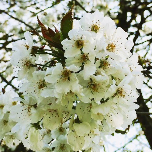White Color Nature Flower Growth Beauty In Nature No People Outdoors Close-up Fragility Blossom Twig Freshness Flower Head Day Tree Spring Blossoms Lotheron Hall