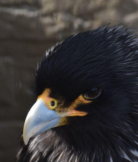 Close-up of black hawk