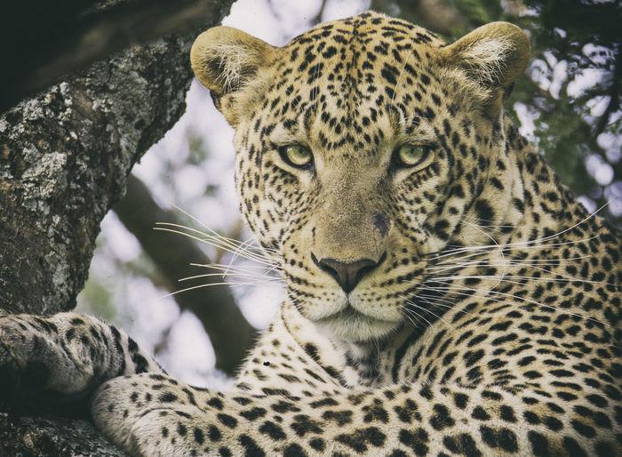 Africa Leopard Popular Photos Portrait Animals Nature_collection Naturelovers Hello World Relaxing Enjoying Life Photooftheday EyeEm Team Check This Out Bestoftheday Eye4photography  Capture The Moment EyeEm Nature Lover EyeEm Best Shots Wildlife & Nature The KIOMI Collection