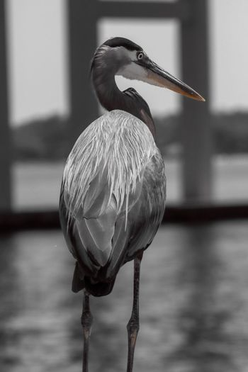 Heron in Selective Color Selective Color Birds Of EyeEm  EyeEm Selects Animal Animal Themes One Animal Bird Vertebrate Animals In The Wild Animal Wildlife Focus On Foreground No People Water Beak Nature Day Close-up Perching Lake Outdoors Animal Body Part Water Bird Animal Neck