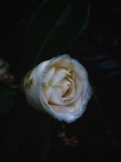 白椿咲いた Flowers EyeEm Flower Flowerporn Plants IPhoneography Flower