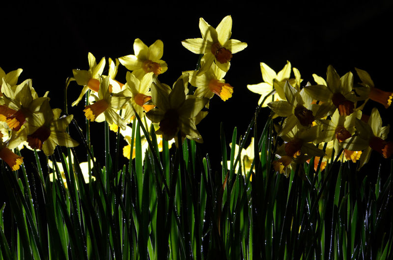 A Host Of Golden Daffodils Black Background Flowers Freshness Growth Plant Spring Flowers Yellow Yellow Flowers