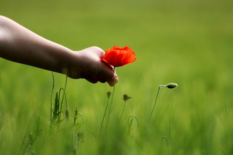 Cropped Image Of Hand Picking Poppy On Field
