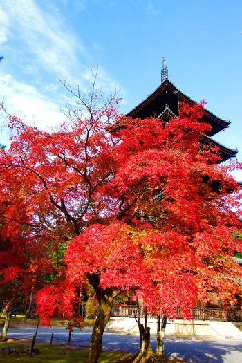 京都仁和寺 Ninnaji Kyoto IPhone X IPhoneography Japan Photography Japan Autumn Tree Change Beauty In Nature Nature Outdoors Architecture Red Leaf Day Growth No People