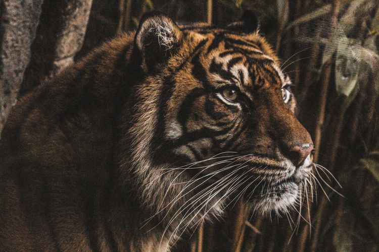 F o c u s One Animal Animal Themes Animals In The Wild Animal Wildlife Close-up Mammal Tiger No People Day Nature Portrait Indoors