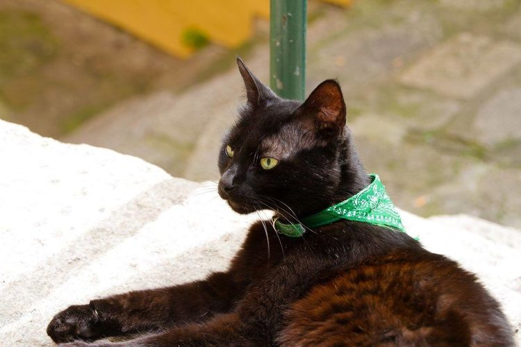 Animal Head  Cat Cat With A Scarf Cute Domestic Cat Feline One Animal Pets Portrait Portuguese Cat Relaxing