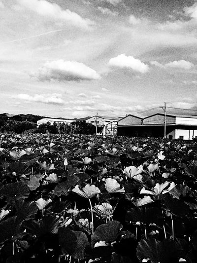 Lotus。 EyeEm Gallery EyeEm Best Shots - Black + White 2016 EyeEm Awards The Tourist Taking Photos Everything In Its Place How Do We Build The World? Sky Clouds And Sky Beautiful Scenery Nature Photography Sanxia