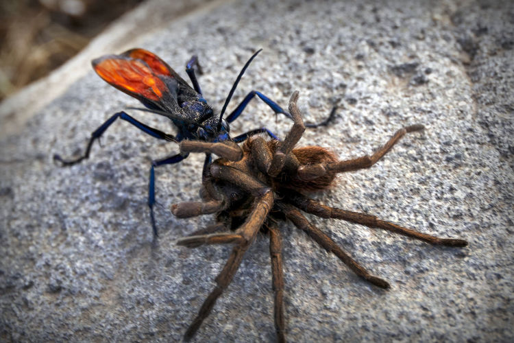 Tarantula Hawk wasp drags her paralyzed prey back to her burrow where it will be slowly consumed by her larvae. CIRCLE Of LIFE Caught Hawk Spider Animals In The Wild Bite Close-up Creepy Day Deadly Helpless Insect Iridescent  Macro Nature No People Outdoors Poison Prey Sting Tarantula Trapped Victory Wasp Perspectives On Nature