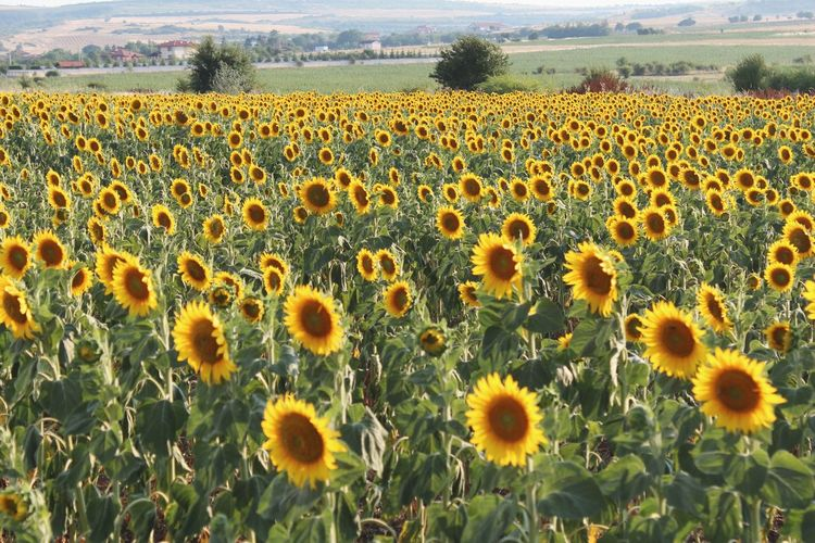 Scenic View Of Sunflower Field
