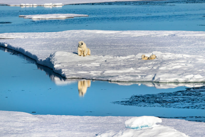 High angle view of polar bears on ice edge in the canadian arctic