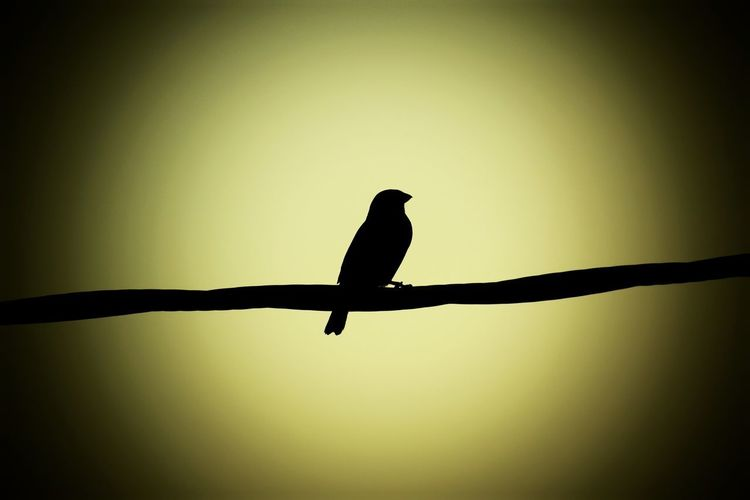 Silhouette bird perching on a branch
