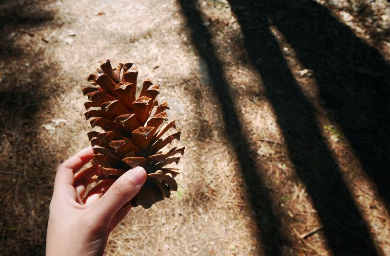 Cropped Image Of Hand Holding Pine Cone Over Dirt Road