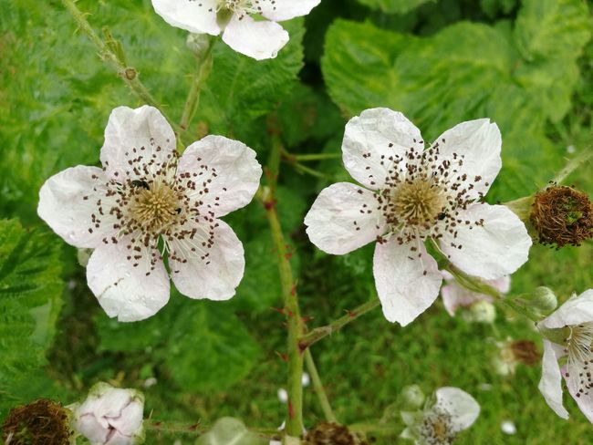 Blackberry Flowers Blackberry Blossom Pink Flowers The OO Mission
