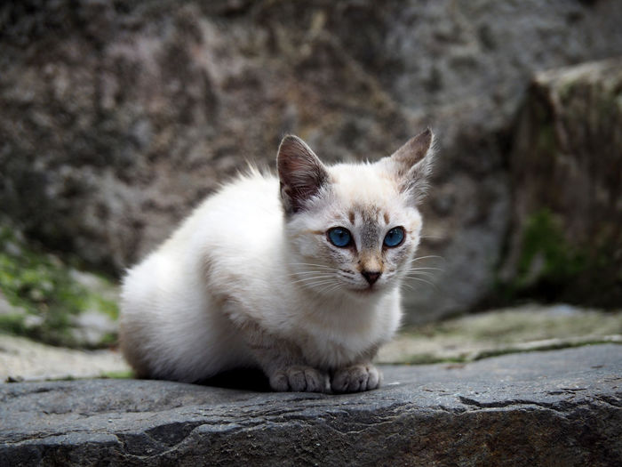 Portrait of a cute white and gray cat Cute Pets Mascot Animal Animal Themes Cat Close-up Cute Cute Cats Domestic Domestic Animals Domestic Cat Feline Furry Gray Color Kitten Looking At Camera Mammal No People One Animal Outdoors Pets Portrait Rock - Object Sitting White Color