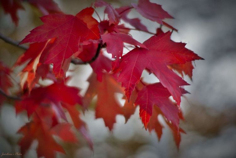 Autumn Leaf Change Maple Leaf Red Nature Beauty In Nature Maple Tree Maple Close-up Tree No People Day Growth Outdoors Branch Fragility Maple Leaves Some Editing Blurred Background MapleLeaves Softness Composition Coolday Autumn Collection
