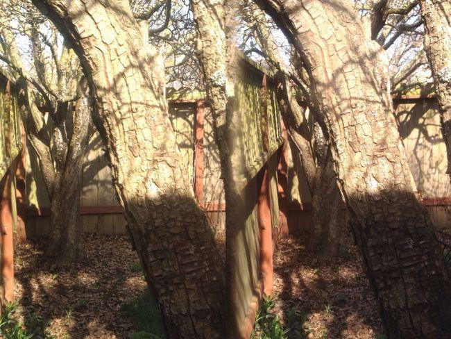 Pear Tree  Walking Around Poppy Camera In My Garden