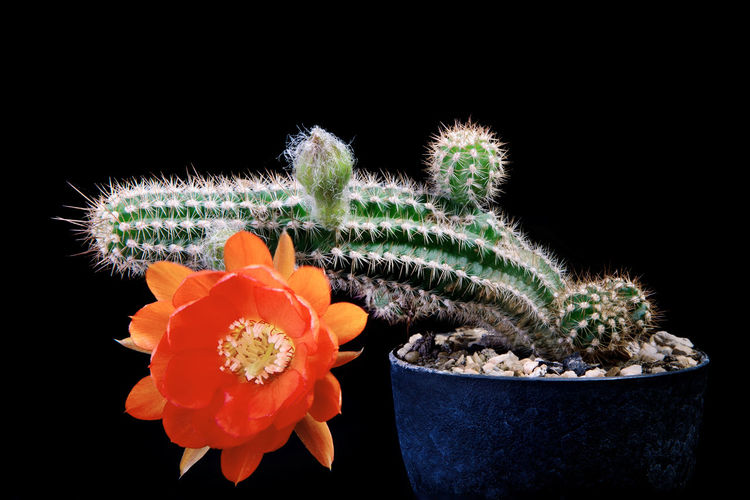 Close-up of potted cactus flower against black background