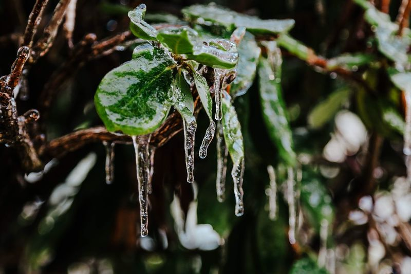 Freezing Cold Icicle Winter Plant Focus On Foreground Close-up Drop Nature Wet Water No People Day Fragility Growth Beauty In Nature Vulnerability  Green Color Tranquility Outdoors Tree Ice