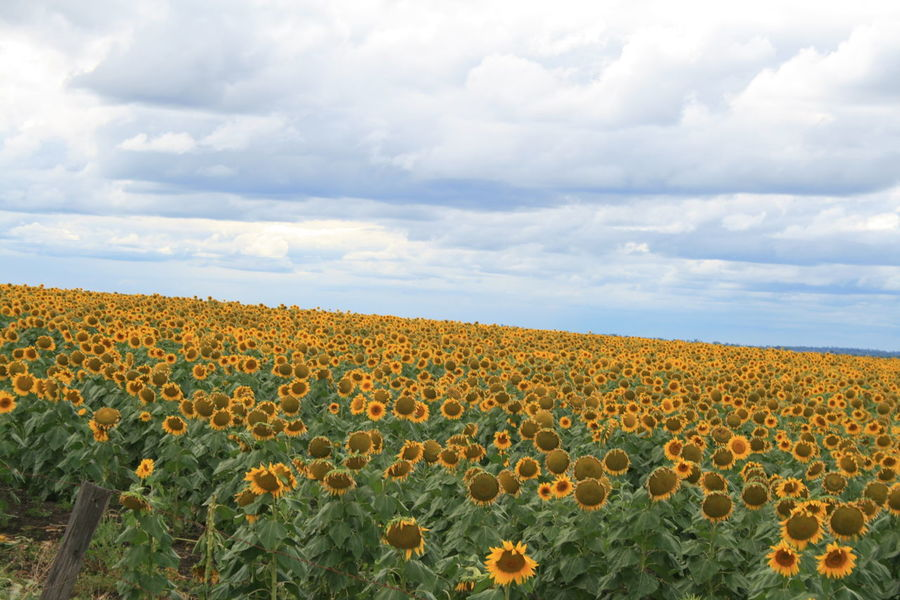 Agriculture Beauty In Nature Blossom Cloud - Sky Crop  Cultivated Farm Field Field Flower Growth Landscape Nature Nature Photography Nature_collection No People Outdoors Plant Rural Scene Scenics Sunflower Sunflowers🌻 Tranquil Scene Tranquility Yellow