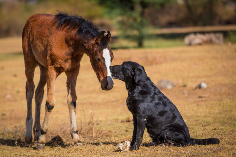 Black Lab Black Labrador Retriever Dog And Horses Friends Horse And Dog Labrador LabradorRetriever Animal Animal Themes Bay Horse Black Black Labrador Canine Dog Domestic Animals Field Foal Friendship Group Of Animals Labrador Retriever Mammal Nature No People Pets Two Animals