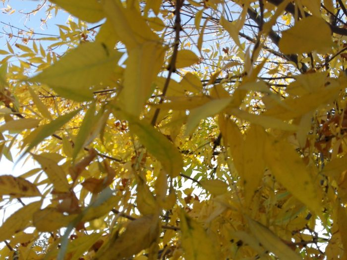 Autumn Color Yellow Autumn WOLFZUACHiV Photography No Person Huawei Photography On Market WOLFZUACHiV Photos Wolfzuachiv Veronica Ionita Ionita Veronica Eyeem Market Huaweiphotography No People Low Angle View Nature Tree Branch Outdoors Yellow Leaves Autumn Leaves Tree Nature Beauty In Nature Fall