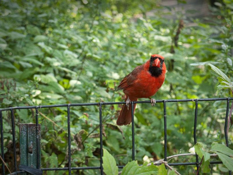 Red cardinal in Central Park Bird Bird On Fence Central Park Close Up Close-up One Animal Red Red Bird Red Cardinal Wildlife