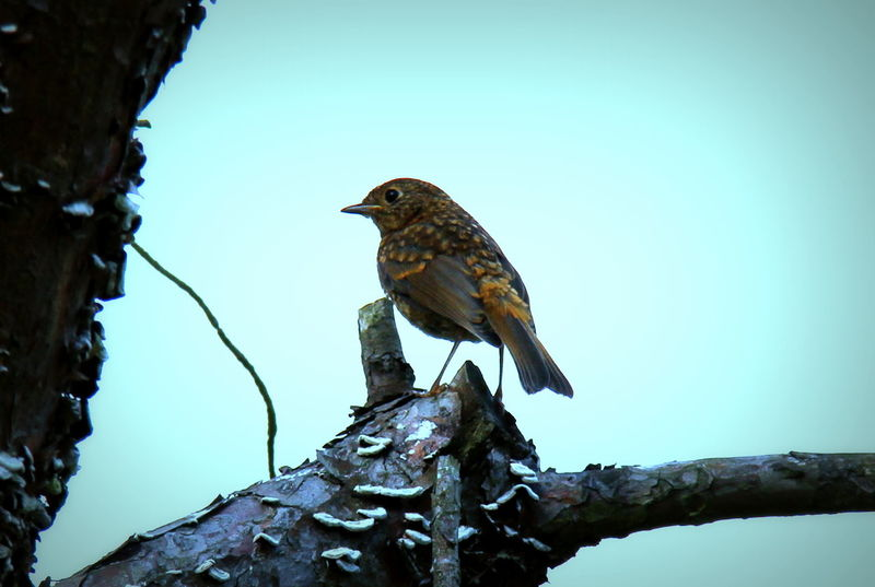 Im sure this is a young Robin...loosing its speckled coat. Animal Themes Animals In The Wild Avian Beak Beauty In Nature Bird Bird Photography Birds Of EyeEm  Blue Branch Clear Sky Day Low Angle View Nature Nature On Your Doorstep No People One Animal Perching Robin Scenics Side View Tranquil Scene Tranquility Tree Trunk Wildlife