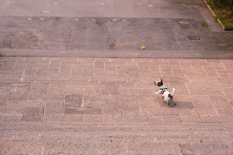 High Angle View Of Dog Playing With Ball