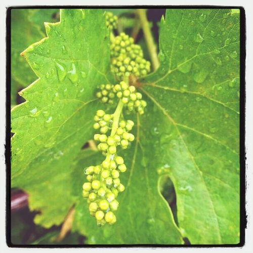 La vinya al Juny. Wine Fruits Penedes Viña