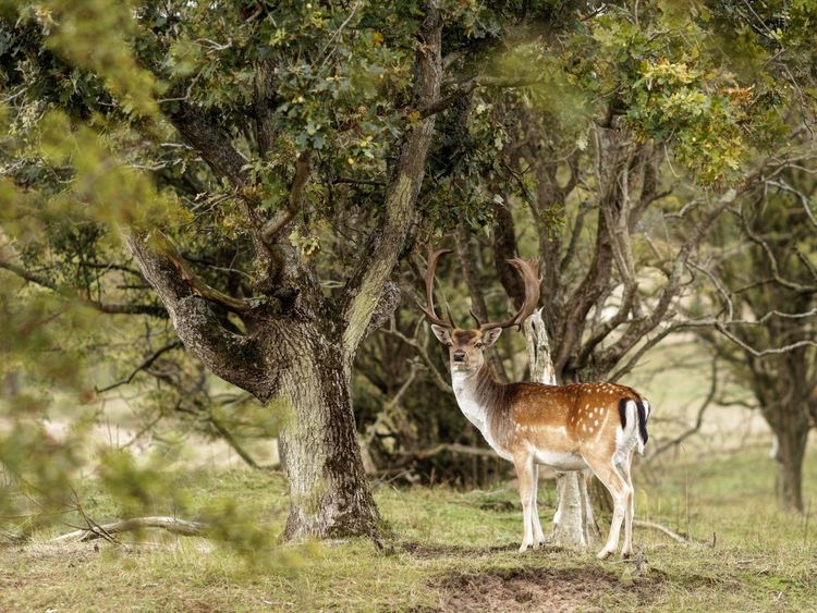 Watcha Lookin' At? Buck Fallow Deer Dunes Of Holland Stag Animal Themes Animal Animal Wildlife Mammal Animals In The Wild Tree Plant Outdoors Standing