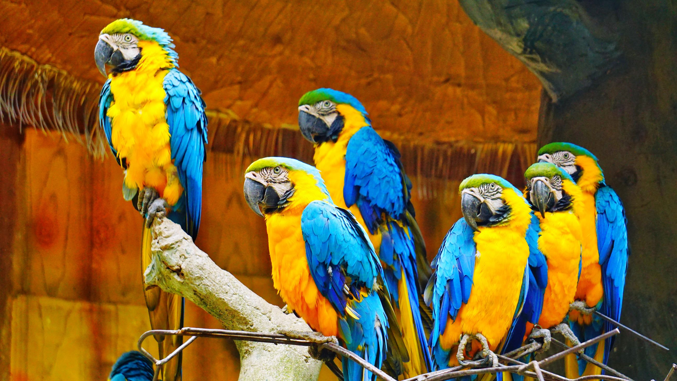 bird, group of animals, animal themes, parrot, animal wildlife, animal, vertebrate, macaw, animals in the wild, perching, gold and blue macaw, no people, focus on foreground, multi colored, blue, animals in captivity, close-up, metal, two animals, nature