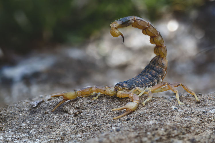 Scorpion Animal Themes One Animal Animal Animal Wildlife Animals In The Wild Close-up Day No People Nature Outdoors Land Invertebrate Vertebrate Selective Focus Zoology Reptile Focus On Foreground Field Animal Body Part Insect Poisonous Scorpion