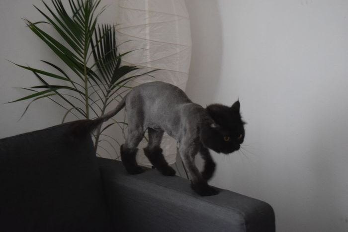 Black Black Cat Black Cats Black Color Cat Cats Close-up Domestic Animals Hair Hair Style Haircut Hairstyle Haiti Home Home Home Is Where The Art Is Living Room Lying Down Mammal Pets Portrait Relaxation Resting Shadow