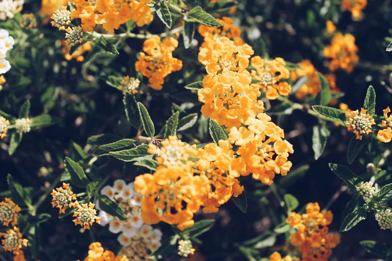 Close-Up Of Yellow Lantana Camara