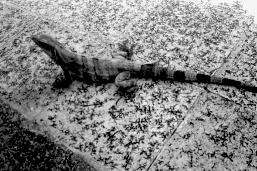 Lizards Mexico Cancun Bahiaprincipe Riviera Maya Blackandwhite Chillen Like A Villian