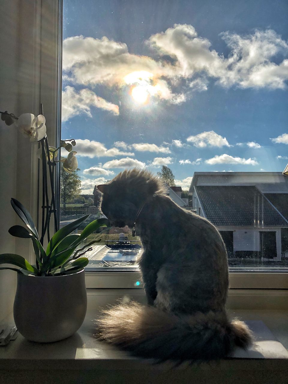animal themes, animal, mammal, one animal, window, nature, domestic, pets, domestic animals, plant, vertebrate, cat, no people, feline, domestic cat, day, sunlight, sky, flowering plant, window sill, outdoors, whisker