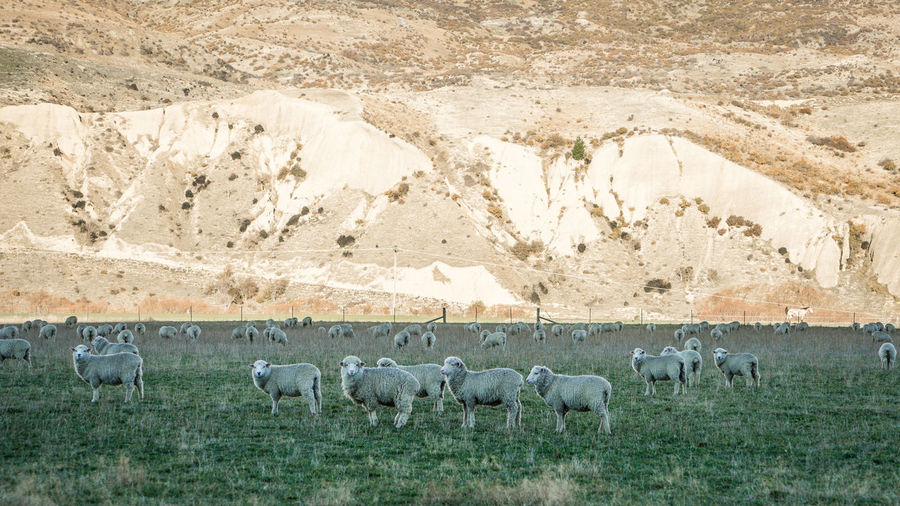 Sheep Grazing On Landscape