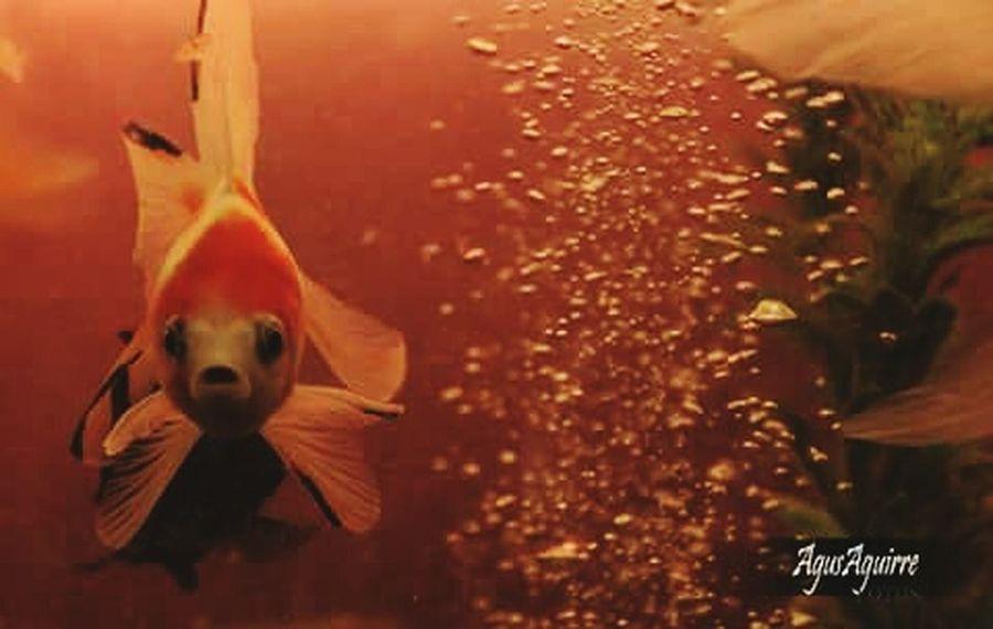 Lo bello no solo esta sobre la tierra... Acuarios Peces De Acuario Pecea Dorados Goldfish Fish Water Life Wild Life
