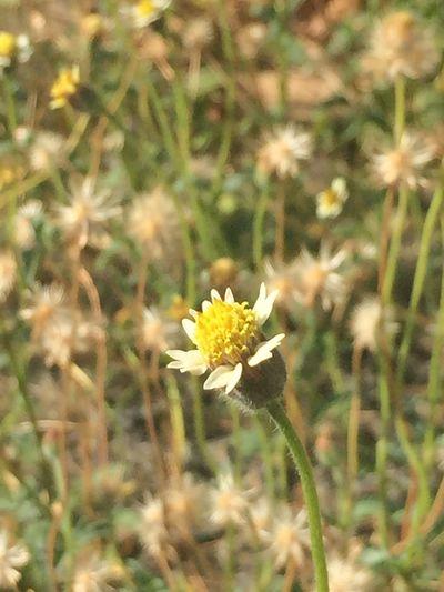 Flower Lallang Nature