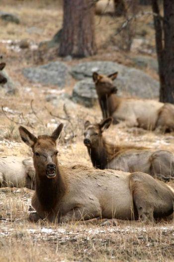 Animals In The Wild Nature Wapiti Elk Rocky Mountain National Park Colorado Colorado Photography Cow Elk